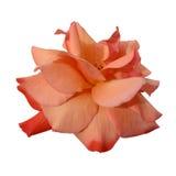 Rosy Rose Royalty Free Stock Photo