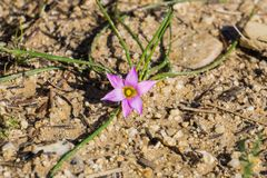 Rosy Sandcrocus (Romulea rosea), endemic in South Africa and naturalized in Europe, Australia, New Zealand and California in the. United States; other common royalty free stock photography