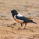 Rosy Starling bird Stock Images