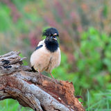 Rosy Starling bird Royalty Free Stock Image
