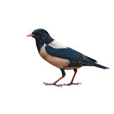 Rosy Starling bird Stock Photography