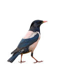Rosy Starling bird Royalty Free Stock Photography