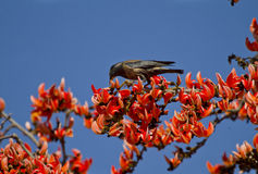 A rosy starling Royalty Free Stock Images