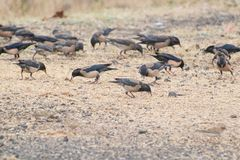 Rosy starling Rosy Pastor on the ground. Flock of Rosy starling or Rosy Pastor Pastor roseus foraging on the ground for grains . They are winter visitors in stock photo