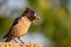Rosy Starling Sturnus roseus sits on a stone with a grasshoppers in its beak Royalty Free Stock Photography