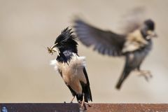 The Rosy Starling Sturnus roseus is standing on a beautiful background.  Stock Photography