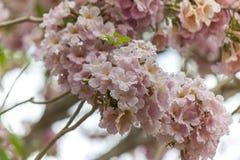 Rosy trumpet flowers Stock Photo