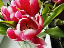 Rosy Tulips in a glass vase Stock Photo