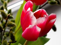 Rosy Tulips in a glass vase Royalty Free Stock Image