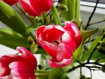 Rosy Tulips in un vaso di vetro Fotografia Stock