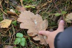 Rosy zakończenie na dębowej liścia i dziecka ` s ręce fotografia stock