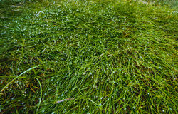 rosy zakrywająca trawa Obraz Royalty Free