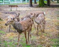 Rosyjscy deers Obraz Stock