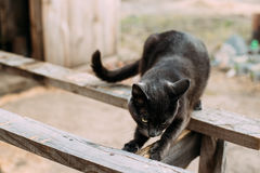 Rosyjska Błękitnego kota figlarka Drapa Drewnianą deskę Z Zielonymi oczami Fotografia Royalty Free