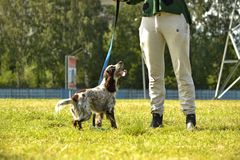 Rosyjski łowiecki spaniel Młody energiczny pies na spacerze Szczeniak edukacja, kynologia, intensywny szkolenie młodzi psy Chodzą fotografia stock
