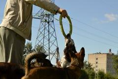 Rosyjski łowiecki spaniel Młody energiczny pies na spacerze Szczeniak edukacja, kynologia, intensywny szkolenie młodzi psy Chodzą obraz stock