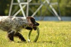Rosyjski łowiecki spaniel Młody energiczny pies na spacerze Szczeniak edukacja, kynologia, intensywny szkolenie młodzi psy Chodzą zdjęcia stock