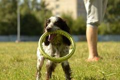 Rosyjski łowiecki spaniel Młody energiczny pies na spacerze Szczeniak edukacja, kynologia, intensywny szkolenie młodzi psy Chodzą zdjęcie stock