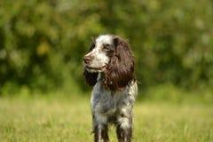 Rosyjski łowiecki spaniel Młody energiczny pies na spacerze Szczeniak edukacja, kynologia, intensywny szkolenie młodzi psy Chodzą fotografia royalty free