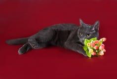 Rosyjski błękitnego kota lying on the beach obok bukieta kwiaty na Burgundy Obraz Stock