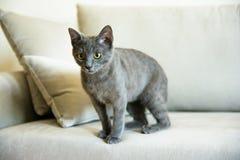 Rosyjski błękitny kot, figlarki obsiadanie na kanapie Obrazy Royalty Free