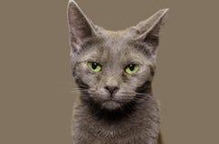 Rosyjski Błękitny kot z prostym szarym tłem Zdjęcia Stock