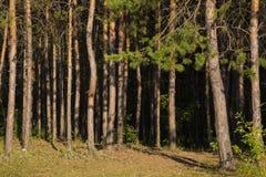 Rosyjski las w Samara regionie, Rosja, iluminujący słońcem Obrazy Stock