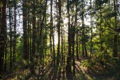 Rosyjski las w Samara regionie, Rosja, iluminujący słońcem Fotografia Stock