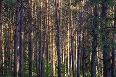 Rosyjski las w Samara regionie, Rosja, iluminujący słońcem Obraz Stock