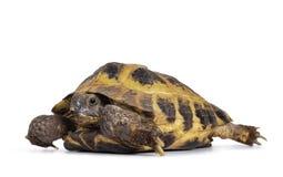 Rosyjski Tortoise na białym tle zdjęcia stock