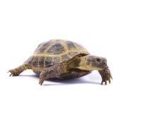 Rosyjski Tortoise na bielu Fotografia Royalty Free