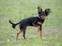 Rosyjski Zabawkarski pies Obrazy Stock
