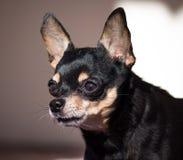 Rosyjski Zabawkarski pies fotografia stock