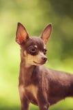 Rosyjski zabawkarski terier Fotografia Royalty Free