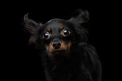 Rosyjski Zabawkarskiego Terrier pies na Czarnym tle Fotografia Royalty Free
