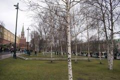 Rosyjskie brzozy w Aleksander Uprawiają ogródek blisko Moskwa Kremlin Obraz Royalty Free