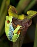Rotäugiger Baum-Frosch auf Kannenpflanze Stockfoto