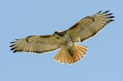 Rot angebundene offene Flügel des Falken weit Stockfoto