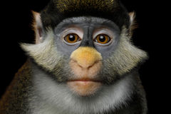 Rot-angebundener Affe Stockbild