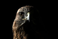 Rot-angebundener Falke Stockfotografie
