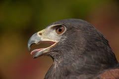 Rot-Angebundener Falke Lizenzfreies Stockbild