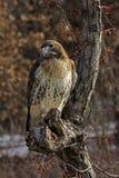 Rot-Angebundener Falke Stockbild