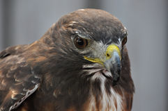 Rot angebundener Falke Stockfotografie
