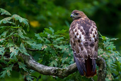 rot-angebundener Falke stockfoto