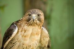 Rot-Angebundener Falke Stockfotos