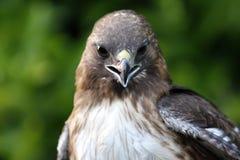 Rot-Angebundener Falke lizenzfreie stockbilder