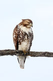rot-angebundener Falke stockbilder