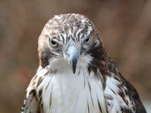 Rot-angebundener Falke. Stockbilder