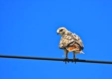 Rot-angebundener Falke auf einem Draht Lizenzfreies Stockfoto