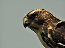 Rot angebundener Falke auf einem Draht Stockfotos